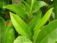 The many beauty benefits of Green Tea